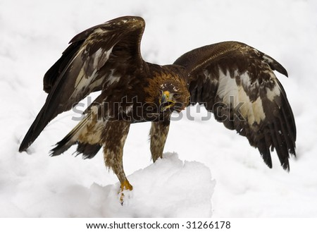 Screaming eagle Stock Photos, Illustrations, and Vector Art
