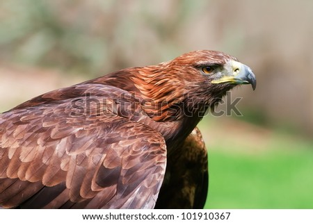 golden eagle is cooled with outstretched wings