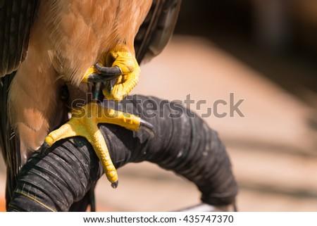Golden Eagle legs close up - stock photo