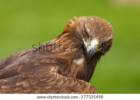 golden eagle look to us - stock photo