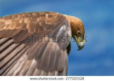 golden eagle looking down looking down under him - stock photo