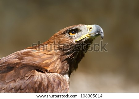 golden eagle looking up - stock photo
