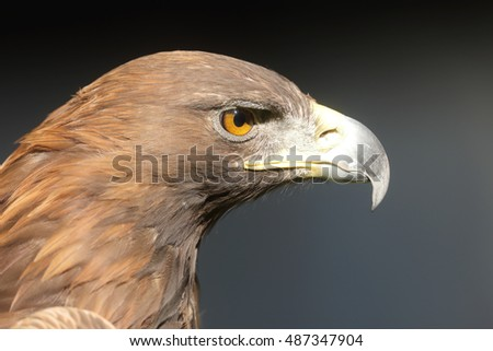 golden eagle nice portrait