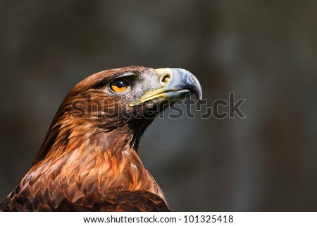 golden eagle on the dark background - stock photo