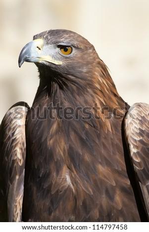 Golden eagle portrait - stock photo