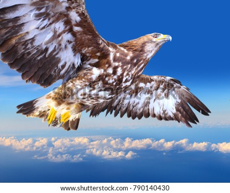 Soaring Golden Eagle Soaring Stock I...