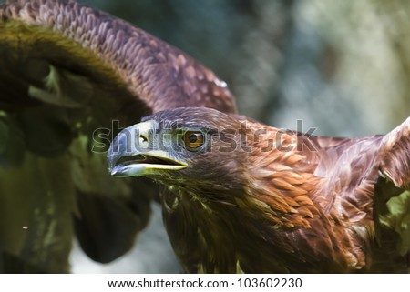 golden eagle spreads its wings - stock photo