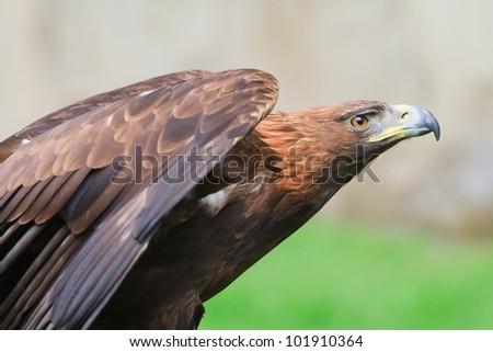 golden eagle wants to take off - stock photo