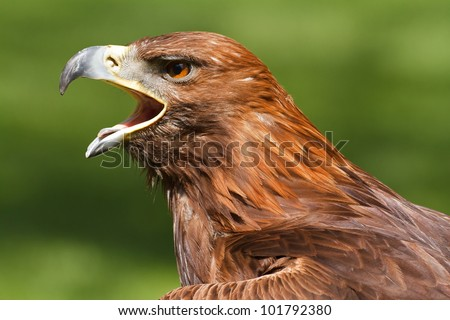 golden eagle with an open beak - stock photo