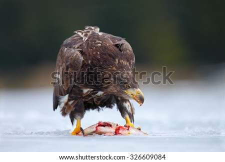 Golden Eagle with catch fish in snowy winter, snow in the forest habitat - stock photo