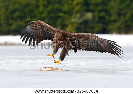 Golden Eagle with catch fish in snowy winter, snow in the forest habitat, landing on ice - stock photo