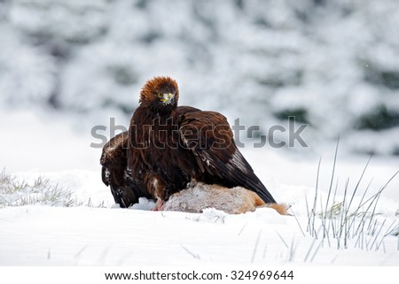 Golden Eagle with catch hare in snowy winter, snow in the forest habitat - stock photo