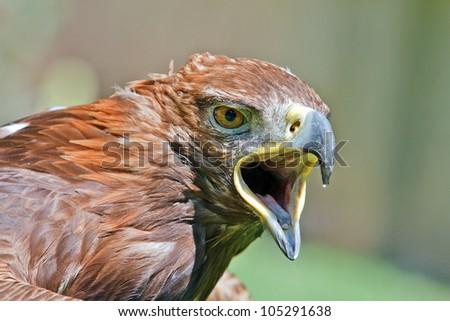 golden eagle with open beak - stock photo