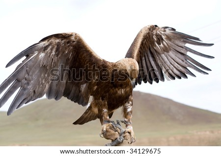 golden eagle with spread wings on hand - stock photo
