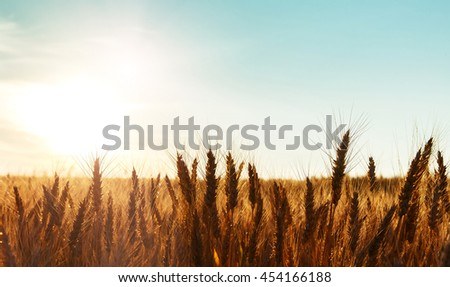golden ears of field on the wheat. sunset light.  soft light effect. retro style. vintage creative effect