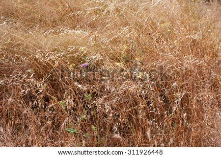 Golden ears of oat on the field. Summer background - stock photo
