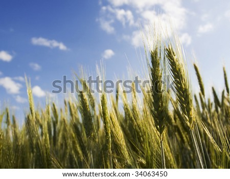 Golden ears of wheat agains the blue sky