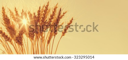 Golden ears of wheat against the sunny sky.