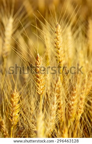 Golden ears of wheat at sunset, before the harvest