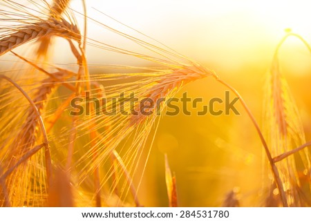 Golden ears of wheat. Macro image. - stock photo