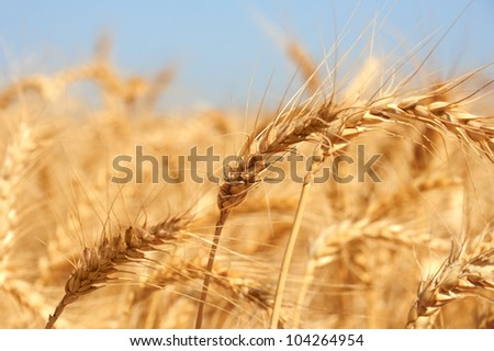 Golden ears of wheat on an endless field.