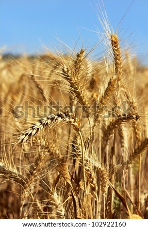 golden ears of wheat on the background a bright blue sky - stock photo