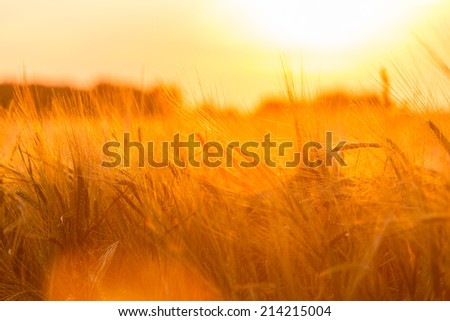 Golden ears of wheat on the  farm field - stock photo