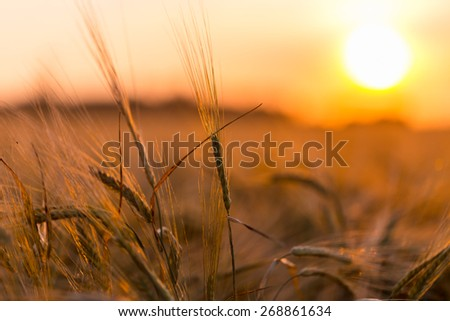 Golden ears of wheat on the  farm field - stock photo