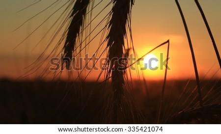 Golden ears of wheat on the field in sunlight. Macro image - stock photo