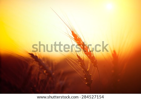 Golden ears of wheat on the field. Sunset light. - stock photo