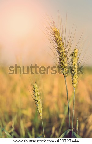 golden ears of wheat or rye, close up. rural landscape under shining sunlight. Rich harvest Concept. small depth of field. Soft lighting effects. Copy space installation of sunlight on the horizon.
