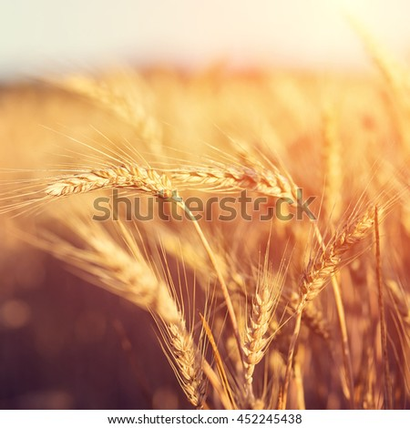 golden ears of wheat or rye on the field, close up with drops of dew. majestic rural landscape under shining sunlight. Rich harvest Concept. small depth of field. Soft lighting effects. vintage filter - stock photo