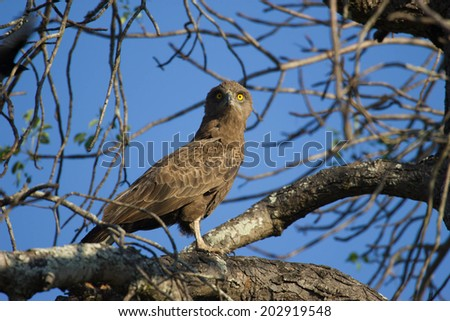 Golden Eyed Eagle - stock photo