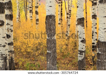 Golden fall aspens in the Utah mountains, USA. - stock photo