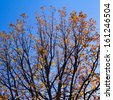 Golden fall leaves on tree branches against blue sky background - stock photo