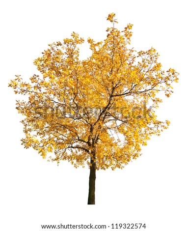 golden fall oak isolated on white background