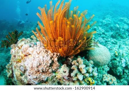 Golden Feather star (Crinoid) _Sea lily - stock photo