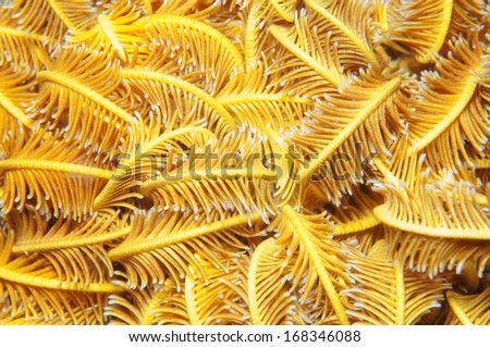 Golden Feather star (Crinoid) _Sea lily - stock photo