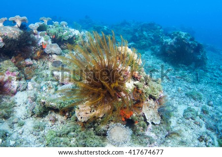 Golden Feather star (Crinoid) _Sea lily