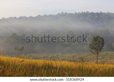 Golden field and misty morning, north-eastern Thailand