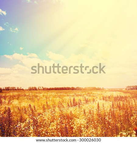 Golden Field and Sunlight on Blue Sky. Summer Day. Toned effect - stock photo