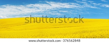 golden field of flowering rapeseed with beautiful clouds on sky - brassica napus - plant for green energy and oil industry - stock photo