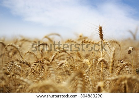 Golden field of ripe wheat against the blue sky - stock photo