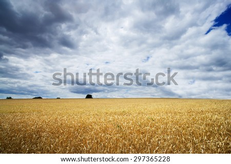 Golden field of wheat against blue sky and clouds. - stock photo