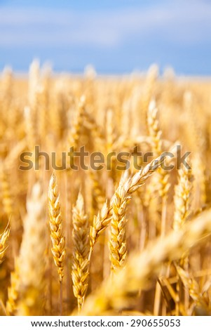 golden field of wheat and blue sky above