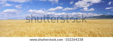 Golden field under sky with clouds - stock photo
