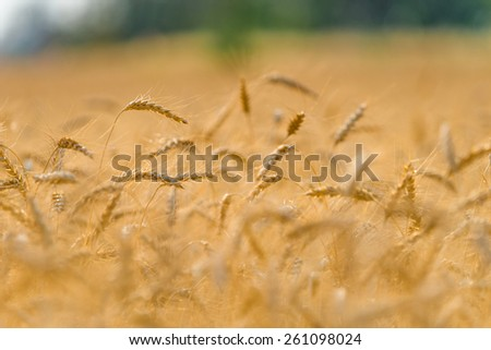 Golden fields of wheat, barley growing. - stock photo