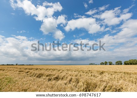 Golden fields of wheat in Normandy on a hot summer day.