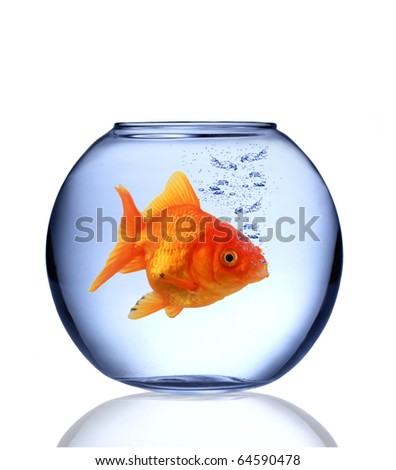 Golden fish Carassius auratus in aquarium - stock photo