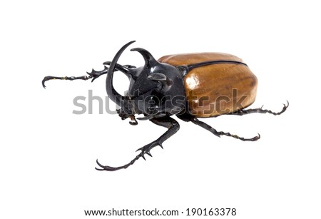 Golden five horned beetle (Eupatorus gracilicornis) isolated against white background. - stock photo